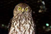 The Barking or Winking Owl Ninox connivens has a characteristic loud and remarkably dog_like double bark, Australia.