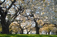Old cherry trees in an orchard in Niagara Region, Ontario, Canada