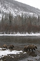 Grizzly Bear Ursus arctos sow and 1st year cubs. Fishing Branch River, Ni´iinlii Njik Ecological Reserve, Yukon Territory, Canada