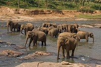 herd of asiatic elephants in river Sri Lanka