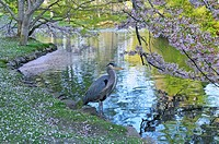 Great Blue Heron standing under cherry blossom trees by pond in Beacon Hill Park, Victoria, British Columbia, Canada