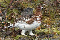 Willow Ptarmigan Lagopus lagopus in late summer vegetation, Alaska, USA