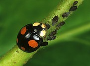 Harlequin Ladybird Harmonia axyridis, black color variation with four red spots, eating aphids.