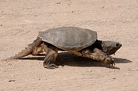 Walking Alligator Snapping Turtle Macrochelys temminckii is one of the largest freshwater turtles in the world. Sandstone, Minnesota, North America, U...