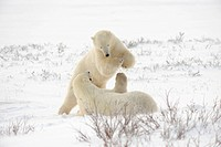 Polar bear Ursus maritimus Pair sparring/playfighting