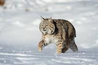 Bobcat Felis rufus_ captive, winter habitat