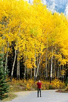 Tourist taking pictures of autumn aspens on the Bow Valley Parkway