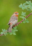 House Finch Carpodacus mexicanus on perch _ Victoria BC, Canada