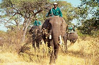 Safari _ Group riding African Elephants on safari, Okavango, Botswana, august