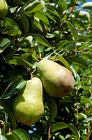 Pears in orchard at Oliver, BC, Canada in August near harvest time