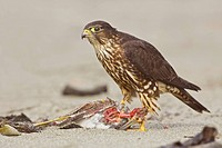 Merlin Falco columbarius perched on the beach feeding on a shorebird in Washington, USA.