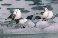 Black_legged kittiwakes Rissa tridactyla resting on a piece of brash ice, Svalbard Archipelago, arctic Norway