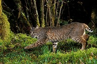 A Bobcat Felis rufus, Mount Hood National Forest, Oregon, USA.