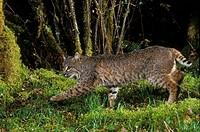 A Bobcat Felis rufus, Mount Hood National Forest, Oregon, USA.