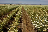 Carrot Daucus carota flowering, grown as seed crop, Mount Jefferson in distance, Oregon, U S A