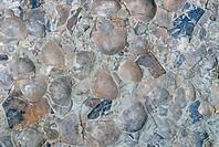 Fossil Brachiopods Strophomena planumbona, Ordovician Period, 505_440 m.y.a., Ohio.