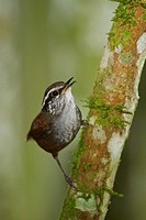 A Gray_breasted Wood Wren Henicorhina leucophrys perched on a branch in the Tandayapa Valley of Ecuador.