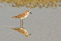 Western Sandpiper Calidris mauri feeding in a mudflat on the coast of Ecuador.