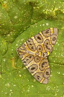 A moth on a leaf in the Tandayapa Valley of Ecuador.