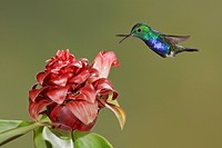 Violet_bellied Hummingbird Damophila julie feeding at a flower while flying at Bueneventura Lodge in southwest Ecuador.