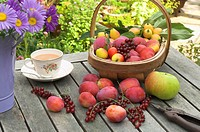 Summer fruit harvest, Victoria Plums, Redcurrants, John Downie crab apples and Bramley apples, on garden table with trug, Norfolk, England, august