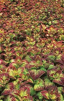 Coleus leaves showing their variegated coloration and venation pattern.