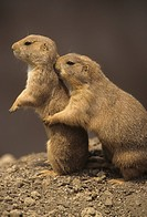 Black_tailed Prairie Dogs Cynomys ludovicianus Western North America.