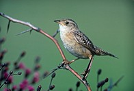 Sedge Wren Cistothorus platensis, North America.