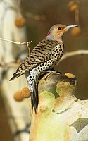 Female Northern or Red_shafted Flicker in a Sycamore tree Colaptes auratus, North America.