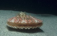 Speckled Scallop ,Argopecten aequisulcatus, showing its eye spots, California, USA, Pacific Ocean.