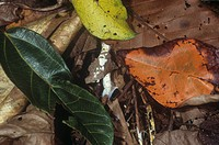 Decaying leaves on the floor of a tropical rainforest, Malaysia, Southeast Asia.