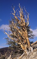 Ancient Bristlecone Pines ,Pinus longaeva, California, USA.