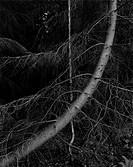Curved tree. Sweden