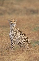 Cheetah ,Acinonyx jubatus, surveying the landscape for prey, East Africa.