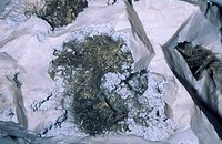 Millerite, a minor ore of Nickel, on Chert.