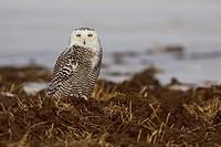 Snowy Owl Bubo scandiacus in Arthur, Ontario Canada.