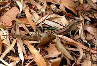 Eastern Striped Skink Ctenotus robustus adult, regenerating tail, in dry leaf litter, Great Sandy N P , Queensland, Australia, January