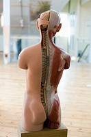 Anatomical model of human body.
