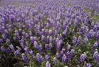 Meadow Lupines ,Lupinus polyphyllus, California, USA.