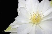 Clematis flower parts.