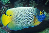 Blueface Angelfish Pomacanthus xanthometopon.