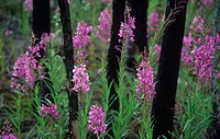 Fireweed blooming in a burned forest Epilobium angustifolium, North America.