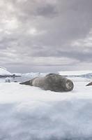 Weddell Seal resting on an iceberg ,Leptonychotes weddellii, Antarctica.