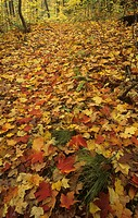 Fall or autumn Sugar Maple tree leaves on the forest floor ,Acer saccharum, Eastern North America.
