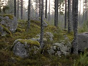 Trees and stones in a forest.
