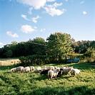 A herd of sheep in a paddock Grinda Stockholm archipelago Sweden.