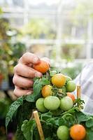Tomato plant in a greenhouse.