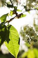 Flowering bird cherry Sweden.
