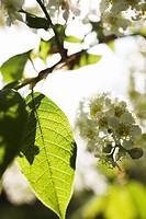 Flowering bird cherry Sweden.