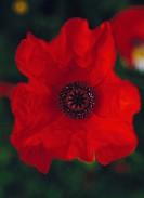 A red poppy close_up Sweden